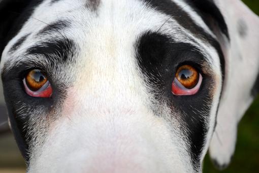 Harlequin Great Dane close up of eyes