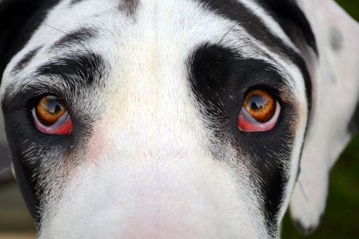 Harlequin Great Dane close up of eyes